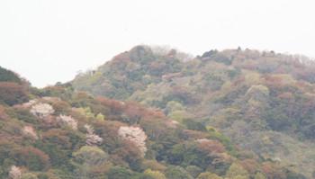 Yamasakura1