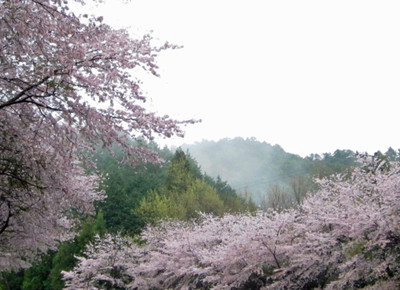 Tatewakusakura